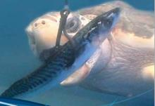 Turtle biting fish bait